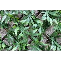 Wonderwall  Artificial Green Acer Trellis - 100 x 200cm